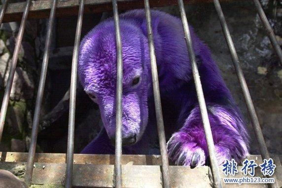 世界上最漂亮的北極熊:紫色北極熊,因病變異(圖)