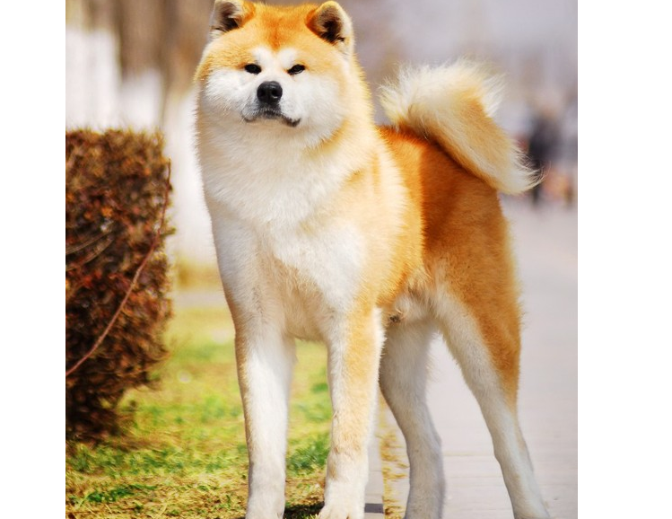為什麼養秋田犬的人少?16個不能養秋田的理由