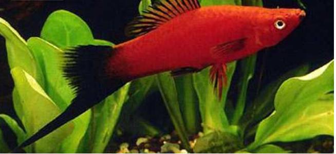 十大養不死的熱帶魚:適合新手養的熱帶魚觀賞魚